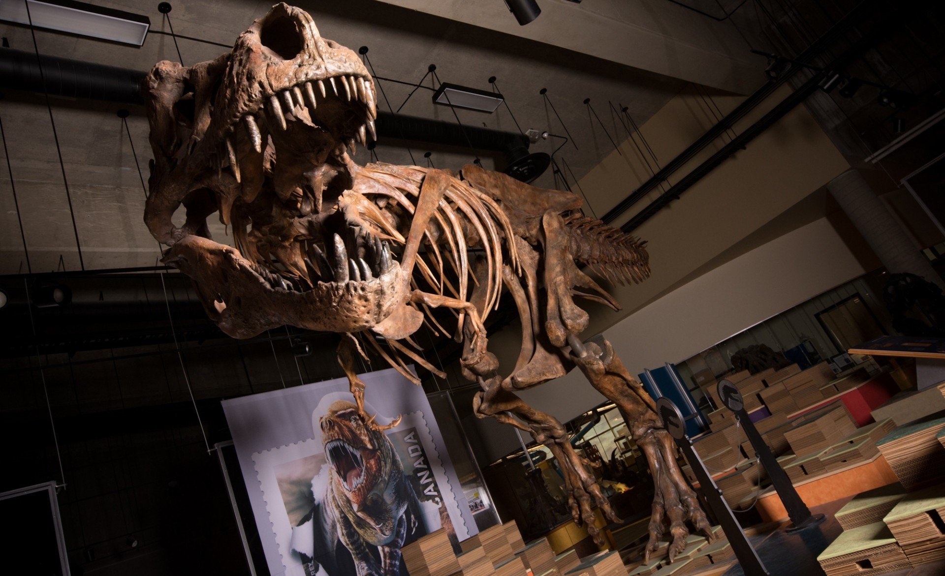 "The towering, battle-scarred skeleton of ""Scotty,"" the world's largest Tyrannosaurus rex and the largest dinosaur skeleton ever found in Canada. (Photo: Amanda Kelley)"
