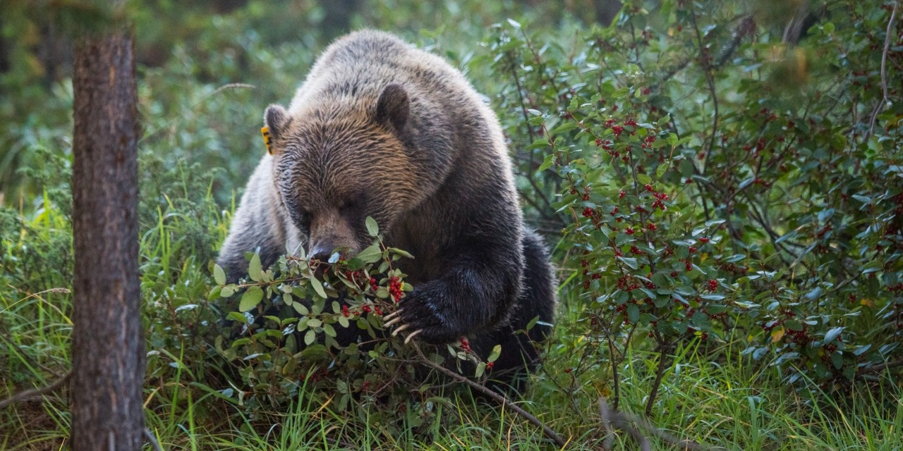 A grizzly bear eats ripe buffaloberries in Alberta's Bow Valley. Shifts in the timing of buffaloberry development in the Rocky Mountains will change the behaviour of grizzly bears and could threaten reproductive rates, say researchers. (Photo: Alex P. Taylor)