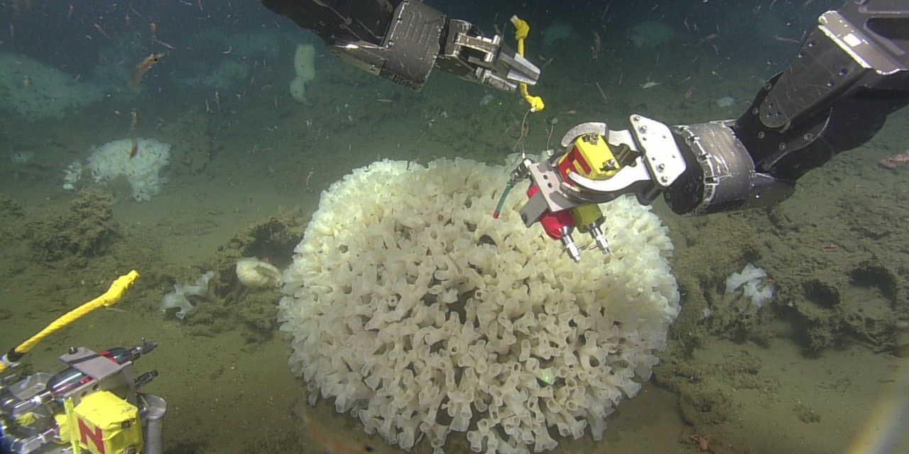 Researchers use remote-controlled vehicles to place instruments near glass sponges in a reef off the coast of northern B.C. to measure how they are affected by sediment stirred up from the seafloor. (Photo: Sally Leys/CSSF-ROPOS/DFO Canada)