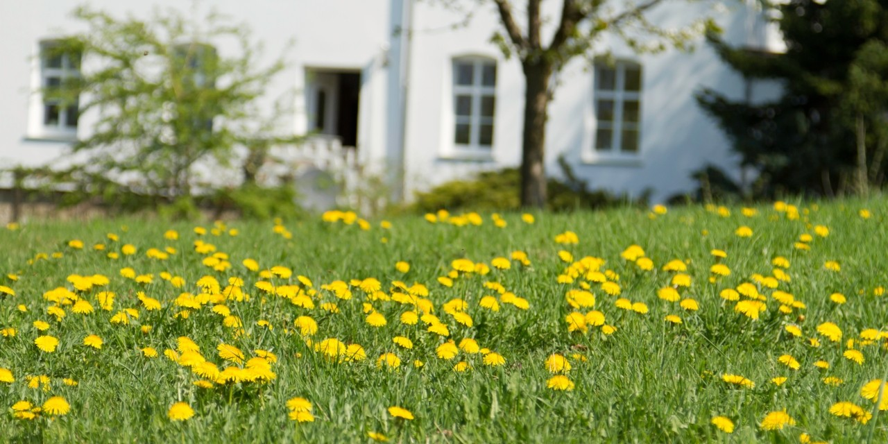 Dandelions are usually an unwelcome sight in the yard, but they're worth keeping around as a food source for bees and even as a salad vegetable, says the head horticulturist at the U of A Botanic Garden. (Photo: Getty Images)