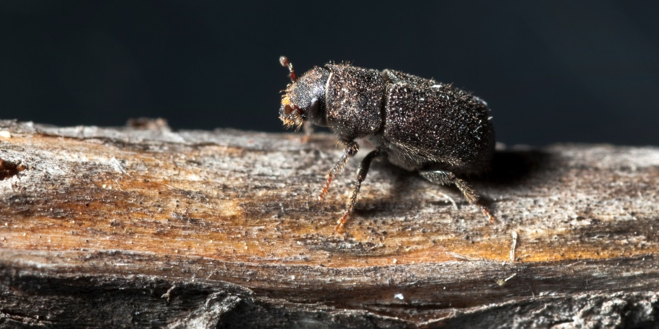 Newly identified chemicals in a fungus carried by mountain pine beetles could be used to develop better baits to trap the voracious forest pests, according to a U of A researcher. (Photo: Getty Images)