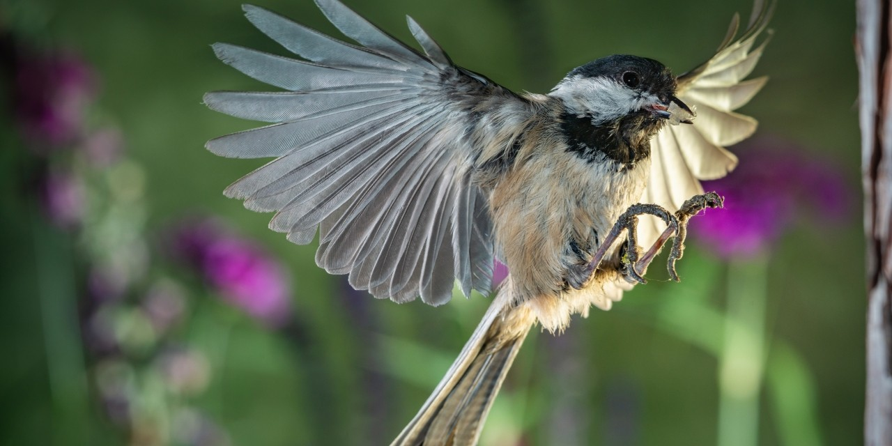 Black-capped chickadees and humans share an ability to understand other species' vocalizations indicating intense feelings such as fear and excitement, according to new U of A research. (Photo: Getty Images)
