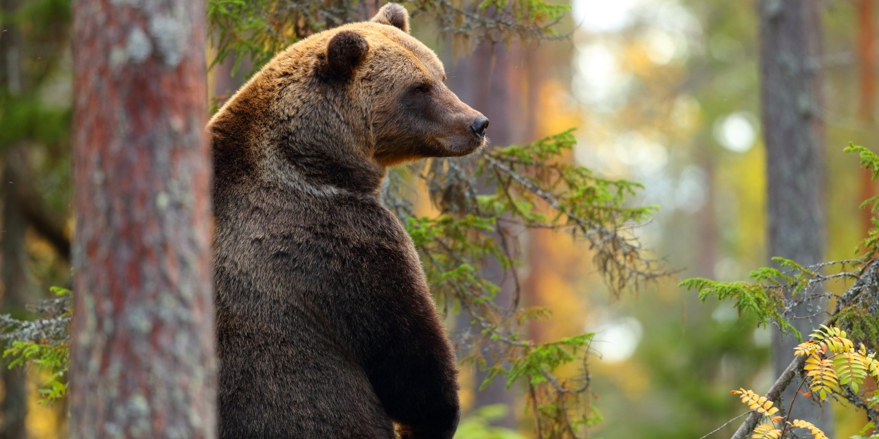 "Threatened grizzly bears in Alberta could benefit from ""retention forestry,"" a practice of harvesting trees in irregular patches and leaving behind small stands that provide a food supply for bears, according to new U of A research. (Photo: Getty Images)"