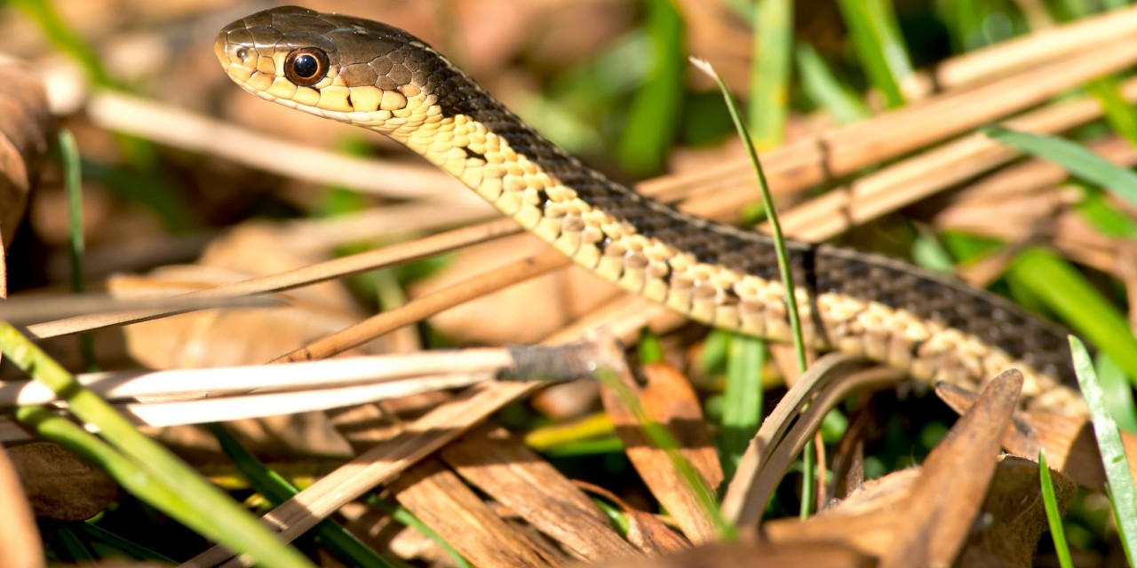 A new study by a U of A undergraduate student provides the first detailed imaging of garter snake skulls at various stages of development. The research yields insights into how snakes develop and how they may have evolved. (Photo: Getty Images)