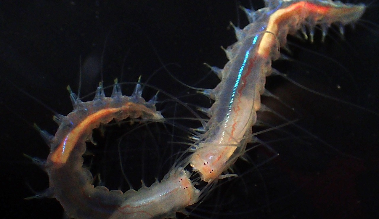 "Two worms square off in a ""mouth fight"" using their ability to produce a snapping noise that clocks in at up to 157 decibels—among the loudest sounds ever measured in marine animals. (Photo: Ryutaro Goto)"