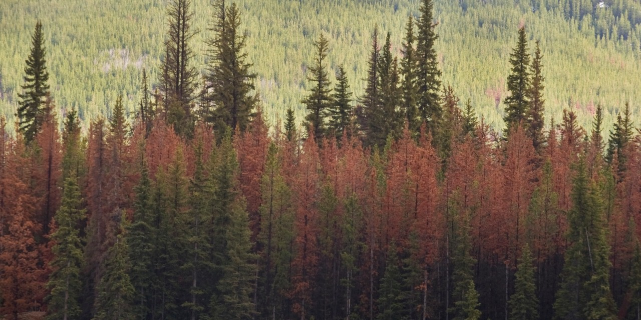Lodgepole pine trees attacked by mountain pine beetles send chemical messages to related trees to help them boost their defences, according to a new U of A study that is the first to show trees can communicate in this way. (Photo: Getty Images)