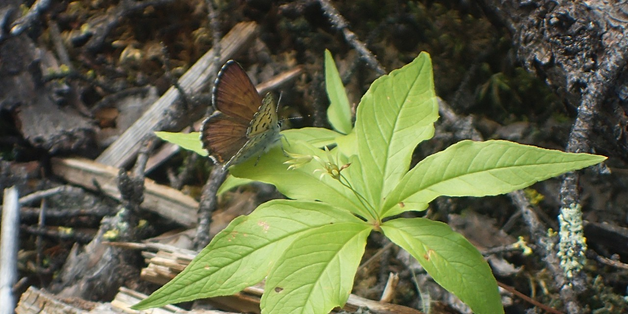 Seismic lines helped dozens of butterfly species, including the mariposa copper pictured here, find food and refuge from the wildfire that devastated the Fort McMurray area in 2016, according to a new U of A study. (Photo: Federico Riva)