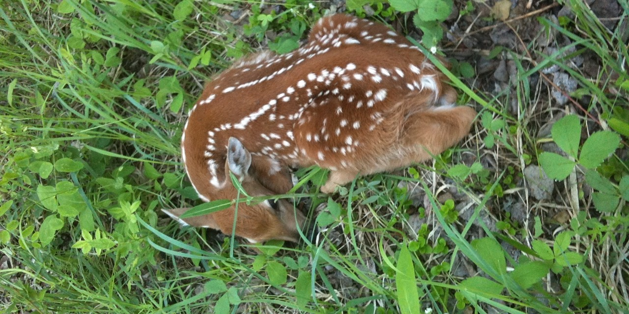 White-tailed deer fawns had a better chance at survival in the tall vegetation afforded by a land conservation program in North Dakota, according to a new study by U of A researchers. (Photo: Mark Boyce)