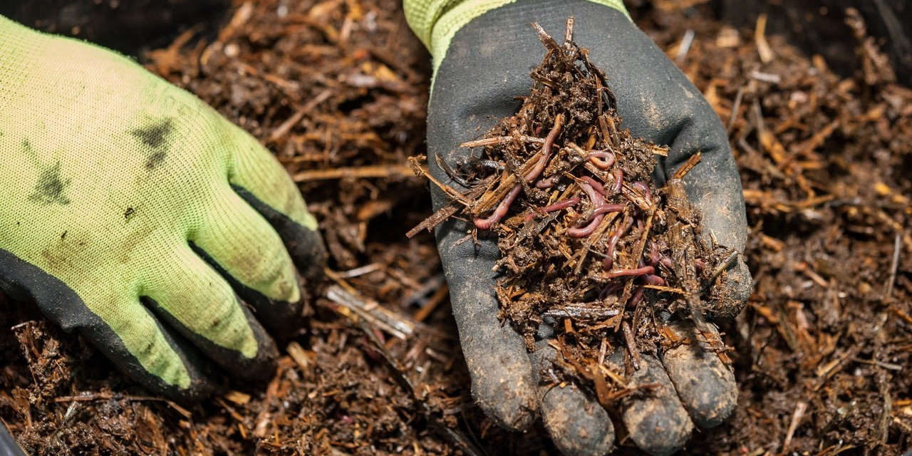 Working with colleagues in China, U of A soil scientists found a recipe that helps earthworms digest garden waste more easily, making composting much faster and possibly helping to keep millions of tonnes of plant waste from being burned or dumped in landfills. (Photo: Getty Images)