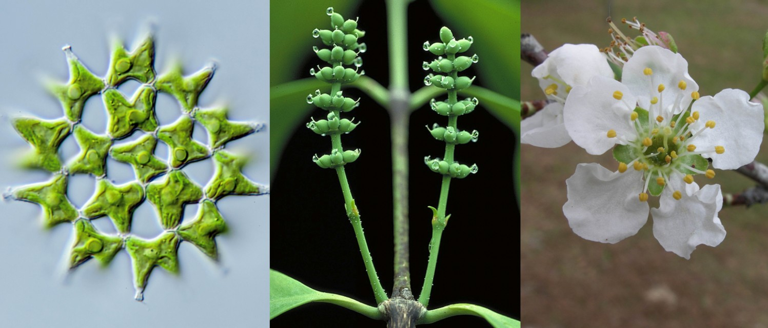 Nearly 200 scientists worldwide worked together to publish gene sequences from more than 1,100 green plants, yielding insights into the complex evolutionary history of species including green algae (left), gymnosperms (centre) and flowering cherry trees (right). (Photos: Michael Melkonian and Walter S. Judd)
