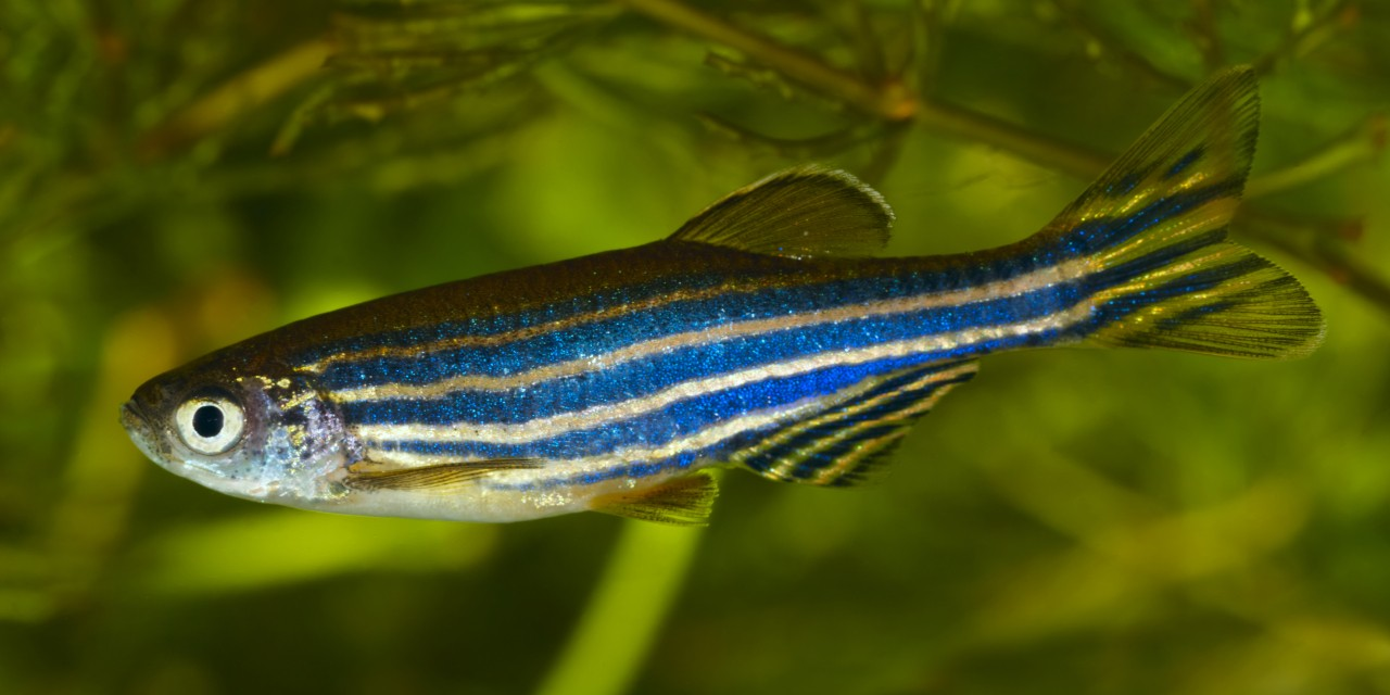 U of A biologists found that disrupting natural cannabinoid receptors in zebrafish had detrimental effects on their development. The research also has implications for humans because we have a similar endocannabinoid system to that of zebrafish. (Photo: Getty Images)