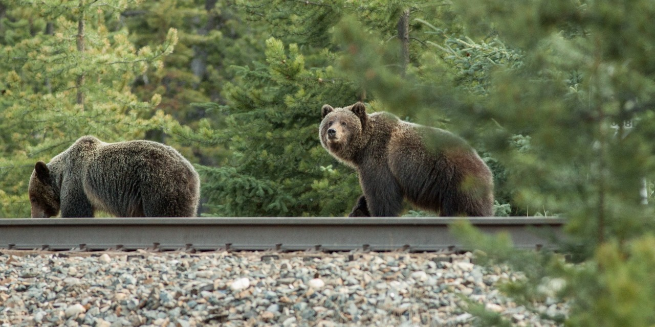 U of A researchers found that grizzly bears have learned to hang around railway tracks in Banff National Park for food and easier travel, so they are testing a warning device that teaches the bears to get out of the way of oncoming trains. (Photo: Neils de Nijs)
