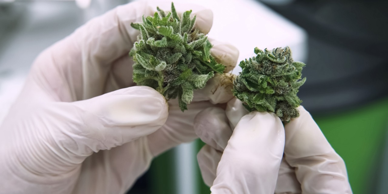 Unnecessary restrictions on cannabis research are preventing consumers, health professionals and patients,  cannabis producers and policy-makers from making decisions based on scientific evidence, argue experts. (Photo: Getty Images)