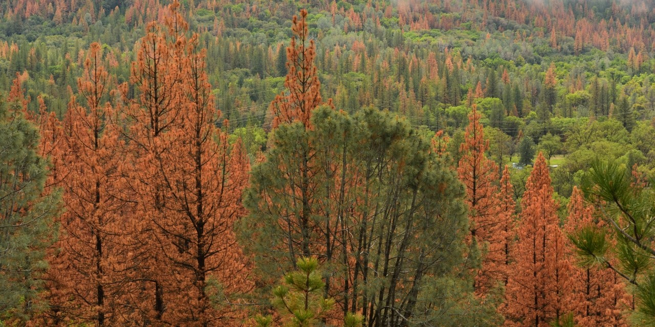 Pine trees with larger resin ducts were able to survive mountain pine beetle attacks that killed trees with smaller ducts, according to a study of forests in Alberta. (Photo: Getty Images)