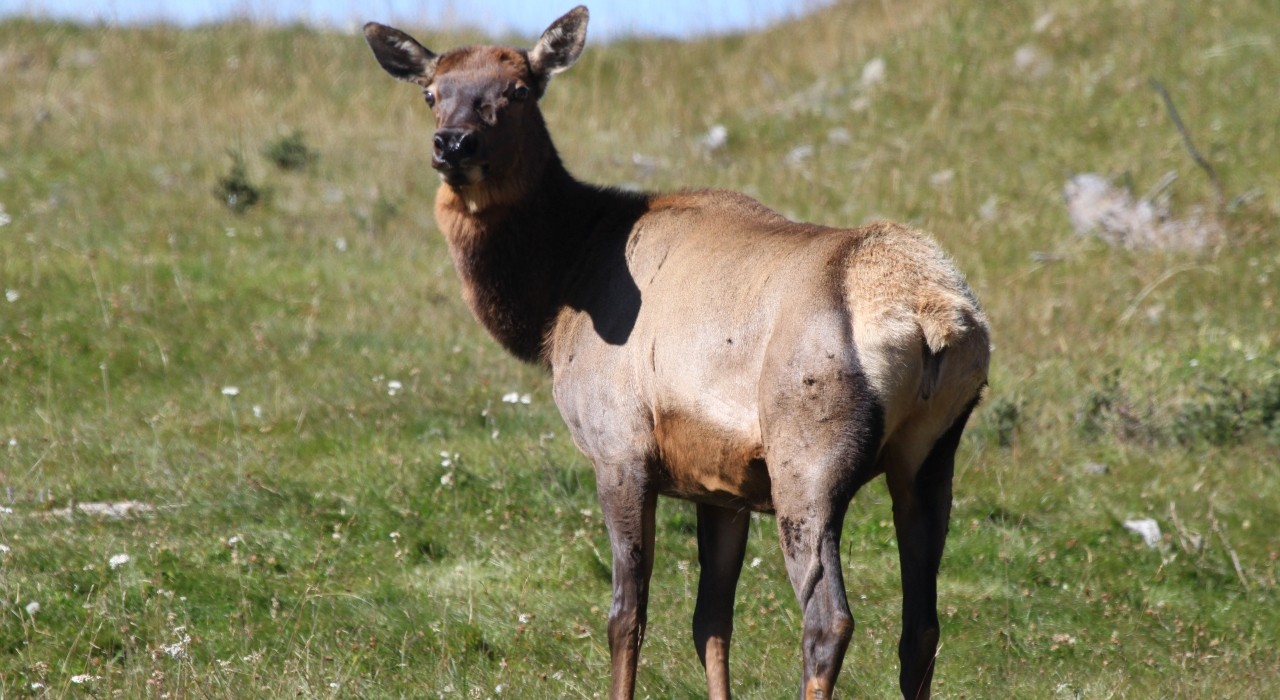 The foothills of southwestern Alberta are home to wild elk as well as cattle on ranchlands—and when the species intermingle, the potential for disease to spread is higher, according to a new study. (Photo: Mark Boyce)