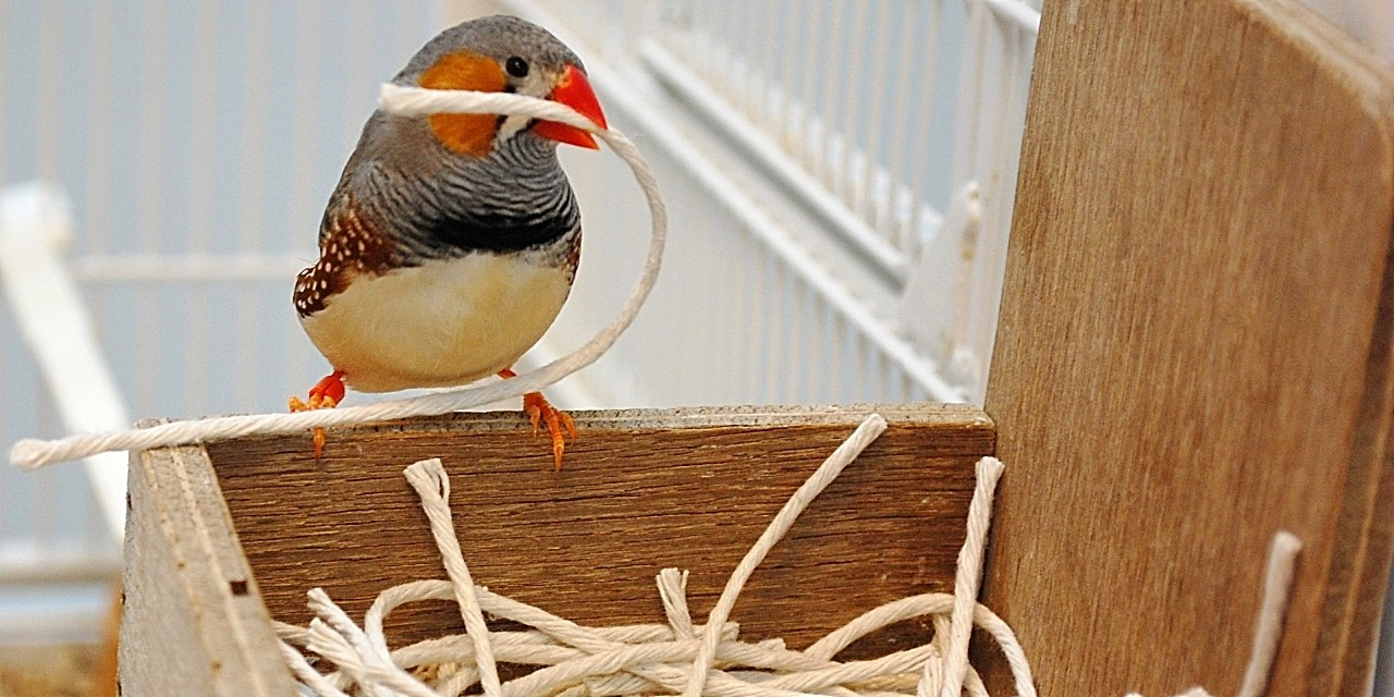 A male zebra finch uses string to build a nest. Researchers found that the birds' experiences in early adolescence influenced what they used to build their first nests and how quickly they were able to build the nests. (Photo courtesy of Alexis Breen)