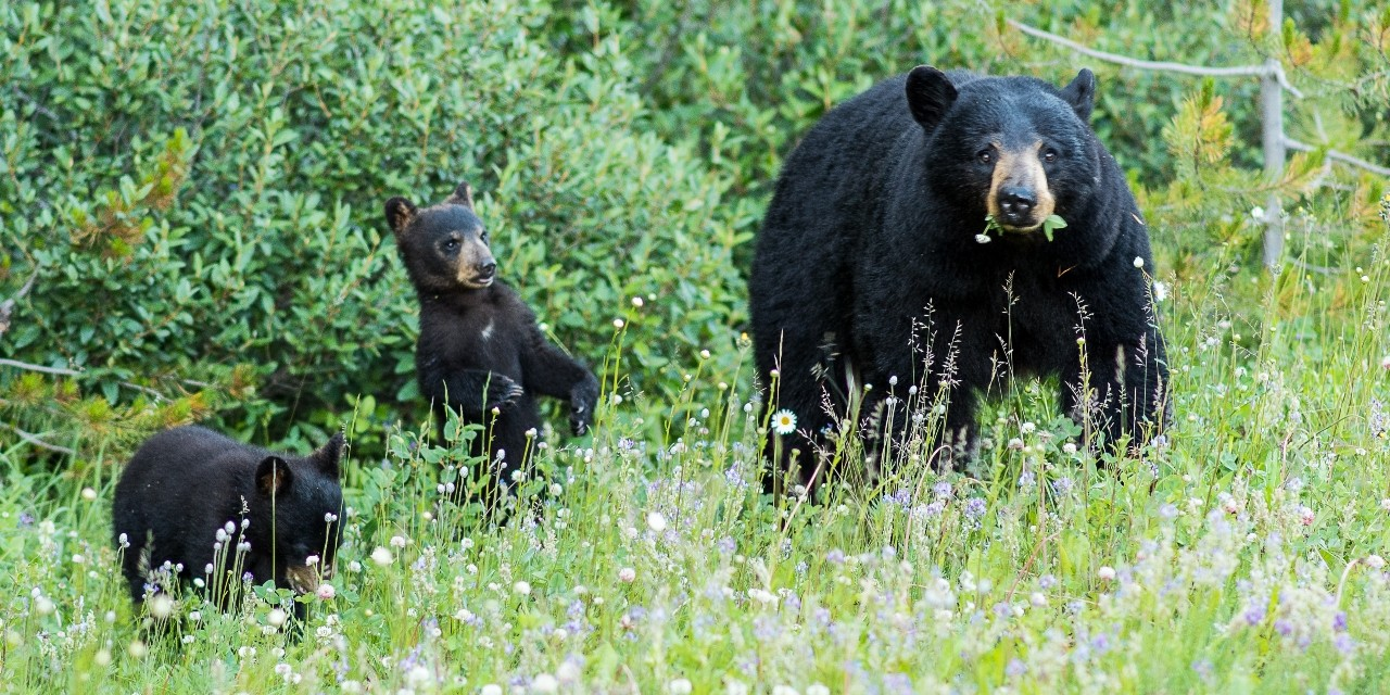 A mother bear and two cubs feed on flowers in Jasper National Park. U of A researchers looked at whether interpretive programs by park staff increased visitors' enjoyment, learning and positive attitudes toward nature-friendly behaviour. (Photo: Getty Images)