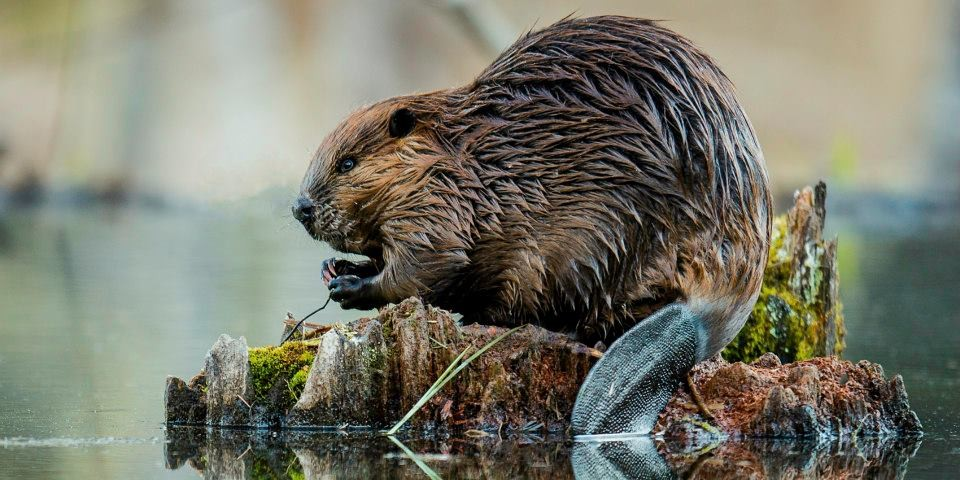Beavers in northern Alberta are making their homes in industrial pits dug to supply materials for road construction, according to new research. (Photo: A. Colton)