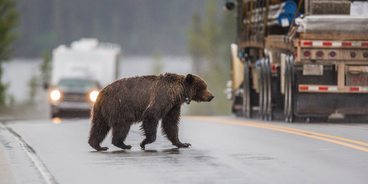 A grizzly bear crosses a highway. A new study by Canadian ecologists shows that bears living in human-dominated areas often shift to nocturnal behaviour to avoid conflict with people. (Photo: Darryn Epp)