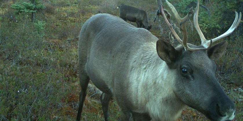 A mix of human activity and natural climate change has made caribou a threatened species both provincially and federally.