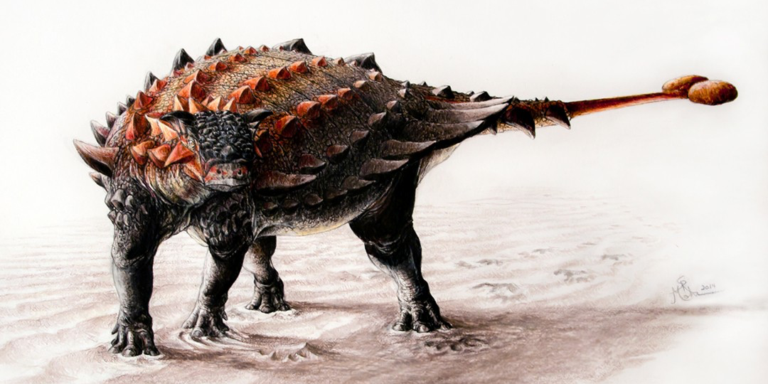 Artist's conception of the newly discovered ankylosaur, Ziapelta sanjuanensis. (Illustration: Sydney Mohr)