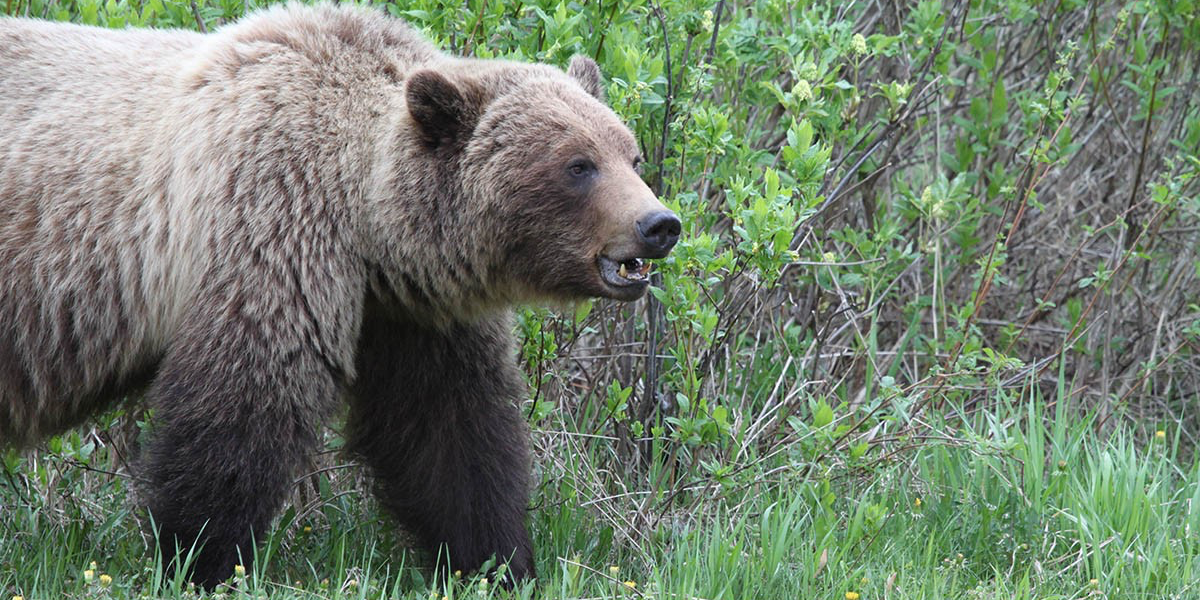 Planning on visiting Canada's national parks this year? Practise wildlife safety tips to keep yourself and grizzly bears safe. (Photo: Mark Boyce)