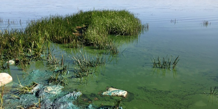 Blue-green algae blooming in June 2015 at Gainford Beach on Isle Lake, west of Edmonton (Photo: Leyna Tsui).