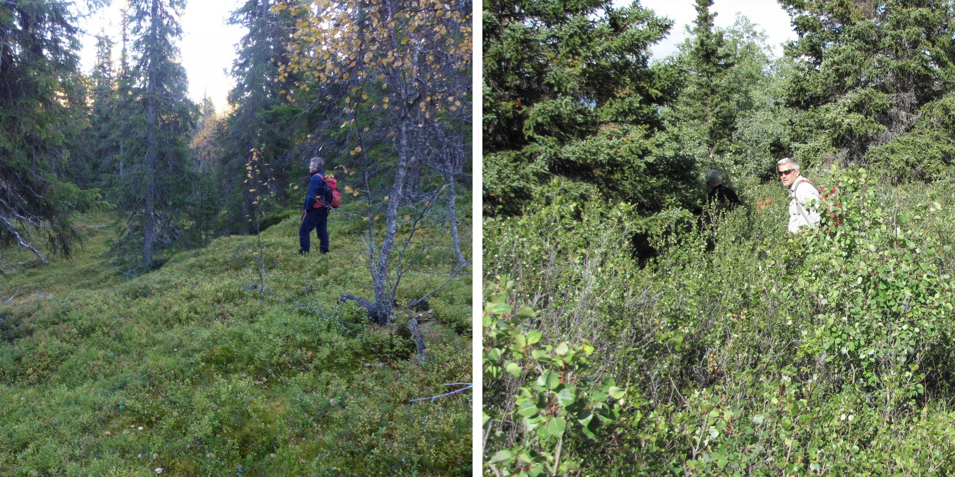 Canadian boreal forests are characterized by many shrubs and a mossy ground cover, whereas Scandinavian forests have little shrub cover, a taller, denser tree canopy. Photo cred: Stan Boutin