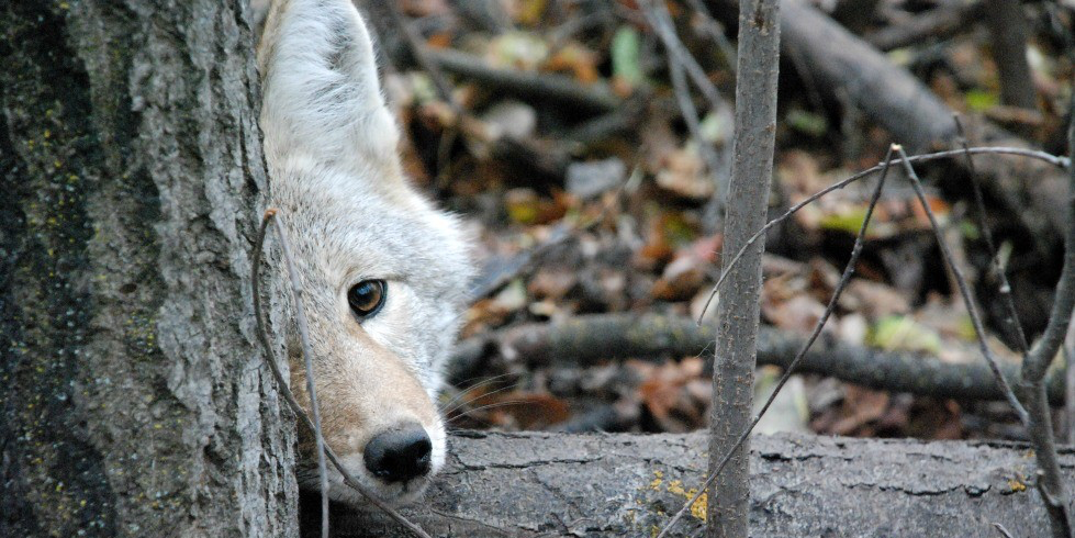Coyote encounters are on the rise in Edmonton, so it's increasingly important for people to know how to avoid conflict with the urban-dwelling creatures, says a biology professor at UAlberta. (Photo: Colleen Cassady St. Clair)