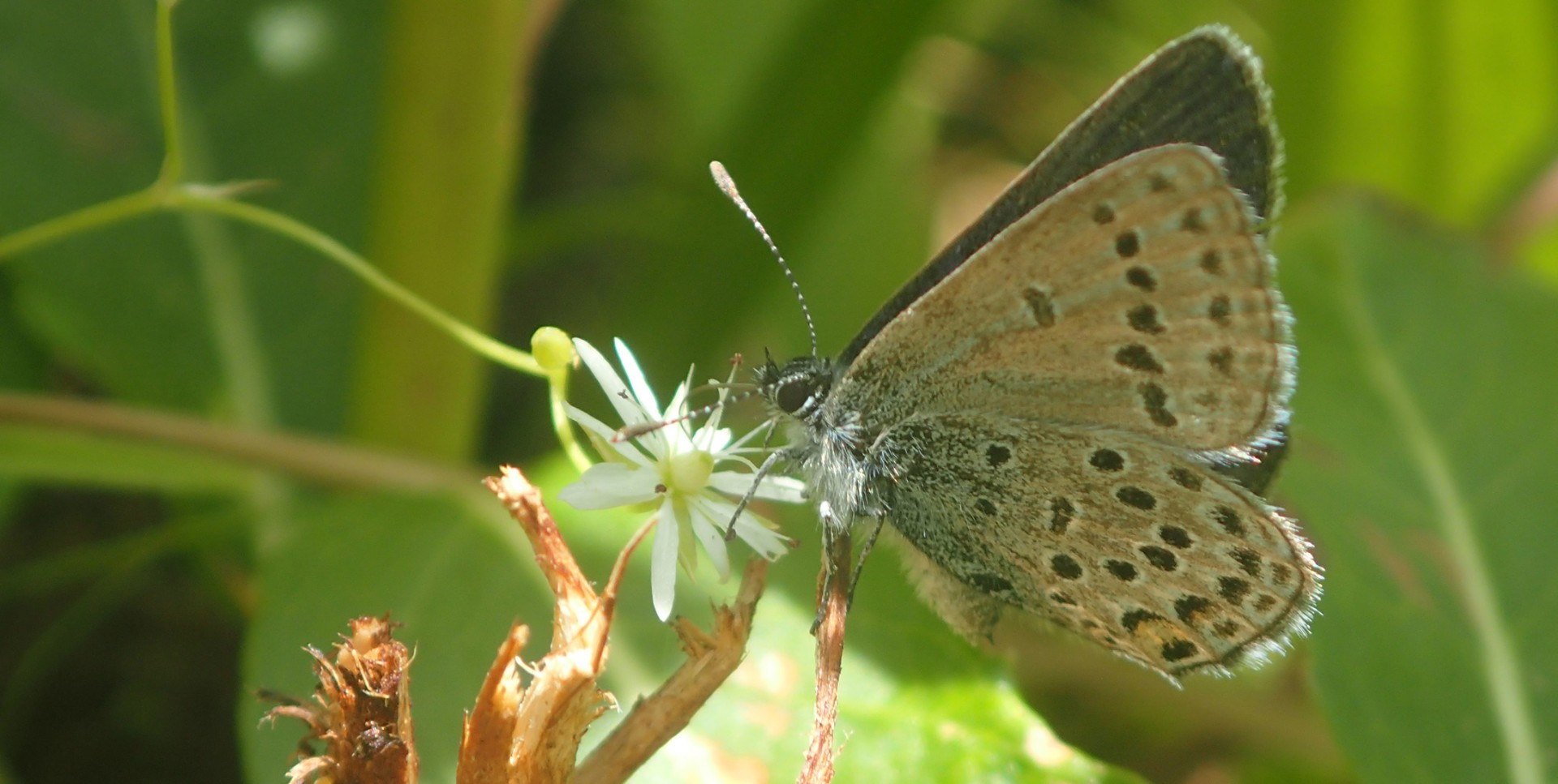 Researchers found more cranberry blue butterflies in old 10-metre wide seismic lines, suggesting changes in the structure of the northern Alberta boreal forest.  (Photo: Federico Riva)