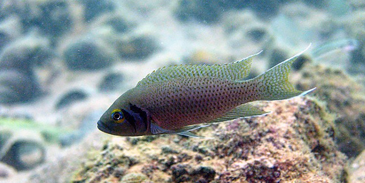 New research suggests that cichild fish like this one may hold the secrets to the evolution of sociality.