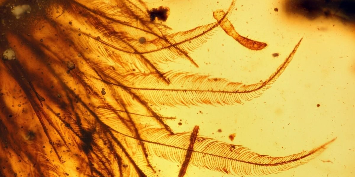 Paleontologists find the tip of a dinosaur's tail, covered with tiny feathers, fully preserved in amber. Photo credit: Royal Saskatchewan Museum