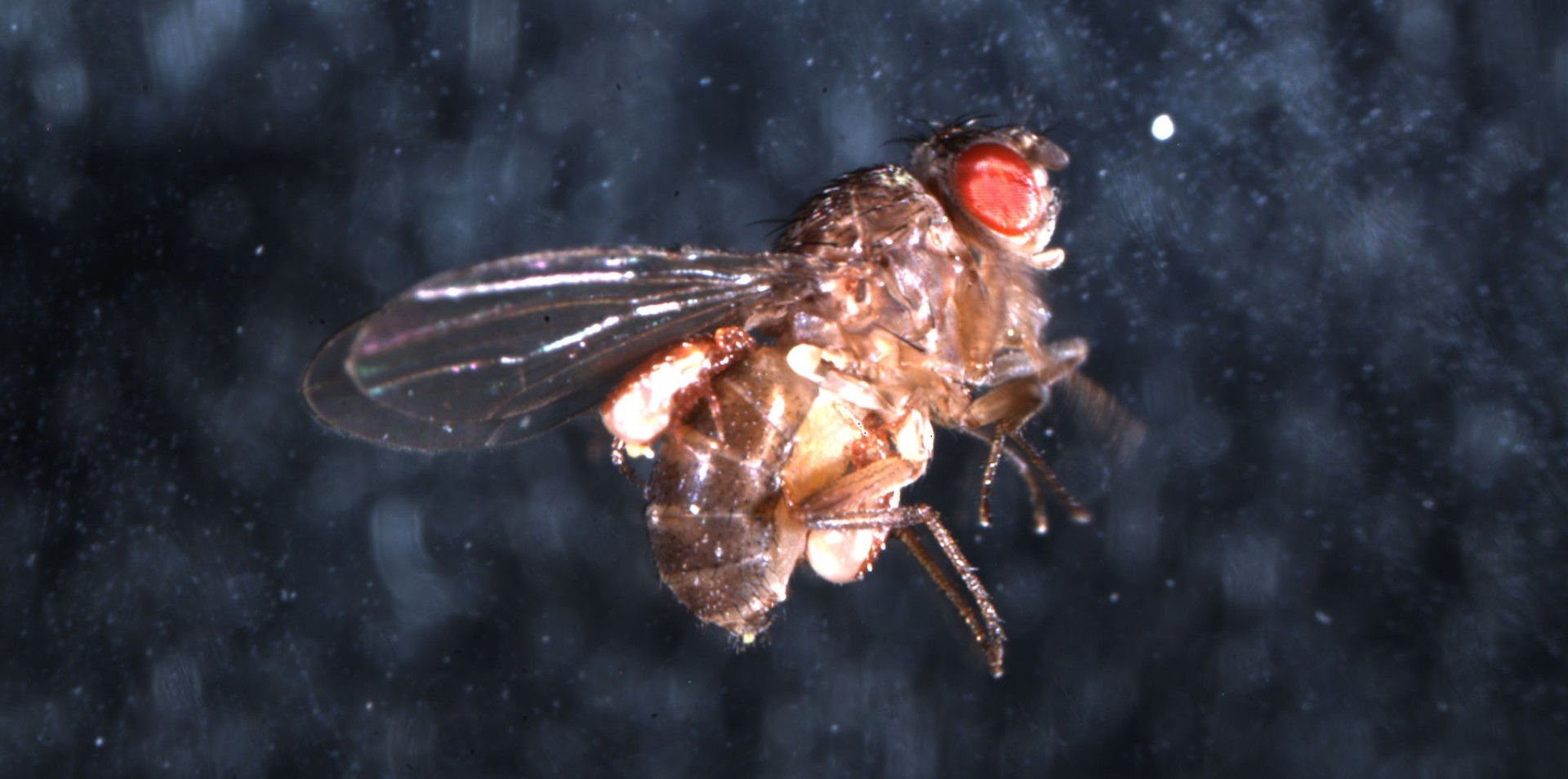 Fruit flies have more to fear than just infection by parasitic mites, like the one pictured here, according to new U of A research. (Photo: courtesy of Lien Luong)