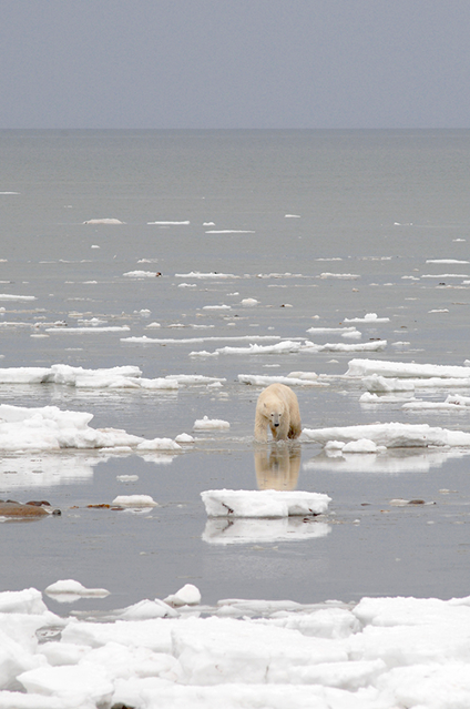Polar Bears are swimming more due to sea ice loss.