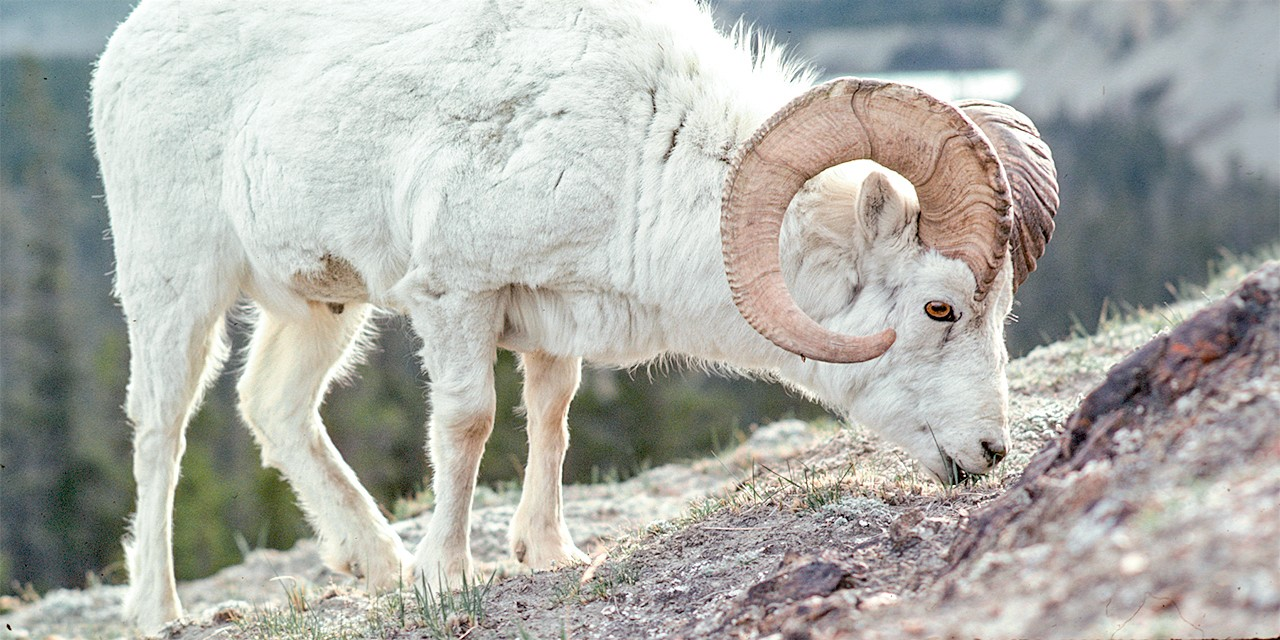 Many Dall's sheep, a subspecies of thinhorn sheep that is pictured here, have been misidentified as Stone's sheep. (Photo: Zijian Sim)