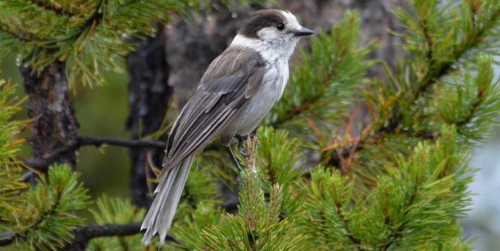Why The Gray Jay Is The Perfect Canadian Bird