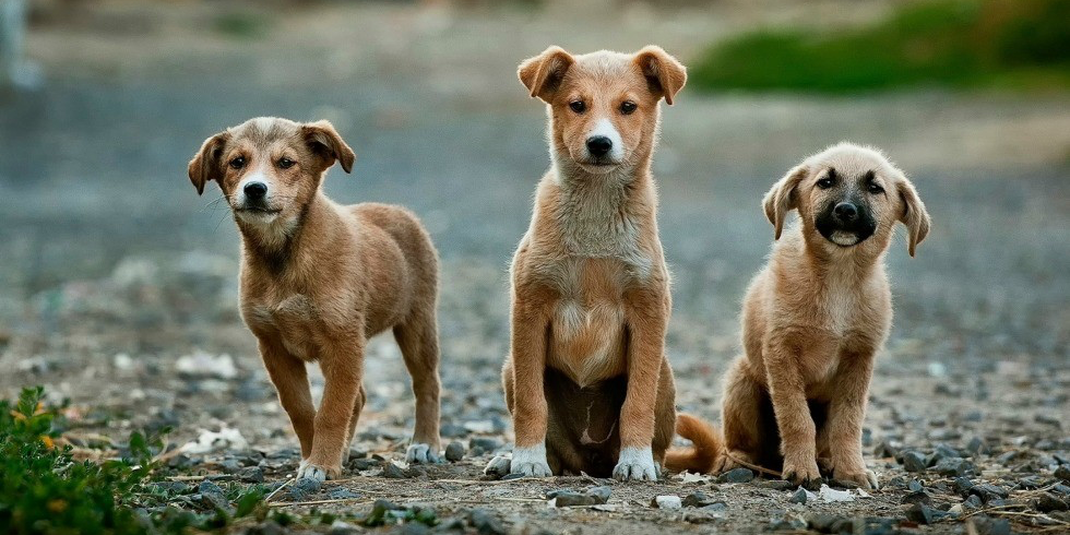 "The irresistible gaze of ""puppy-dog eyes"" has roots in thousands of years of human evolution alongside domesticated dogs, says anthropologist Robert Losey."