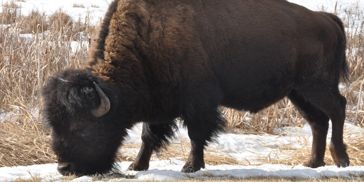 Unlike other notorious invaders such as zebra mussels, bison were not introduced by humans, but their rapid spread and diversification in North America are hallmarks of an invasive species.