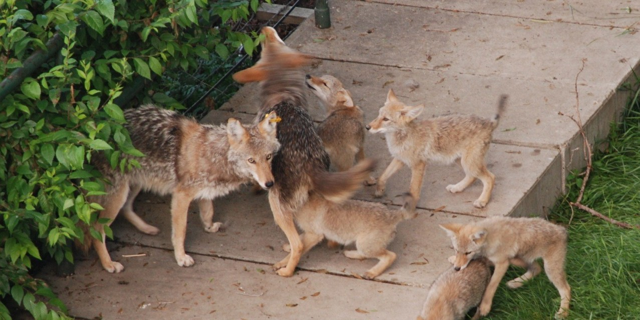 Urban coyotes with pups. The study found that diseased animals were more likely to have consumed human food. (Photo: John McClay)