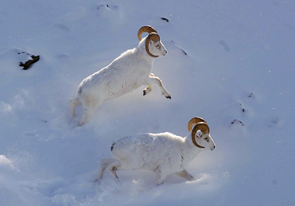 Dall's sheep, usually found farther north than their darker cousins, are easily recognizable by their snowy white fur.