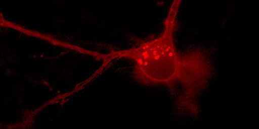 FlicR1 translates the electrical signals between neurons into fluorescence that can be easily measured using conventional widefield fluorescence microscopy.