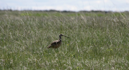 More than 100 bird species have been identified on the Rangeland Research Institute at the Mattheis Ranch, including the long-billed curlew, a nationally designated species of special concern that breeds in Alberta's grasslands.
