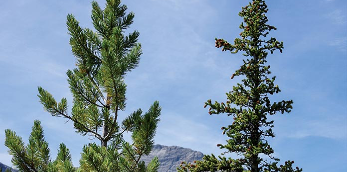 Local lodgepole pine (on left) and interior spruce (right) use a high proportion of shared genes in order to adapt to their climate, says Andreas Hamann, co-author of a new study published in Science this month.