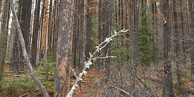 New research shows the survival rate of pine seedlings in western Alberta is dramatically lower in beetle-killed stands—one per cent versus 25 per cent in non-attacked stands—putting the future pine forest at risk.