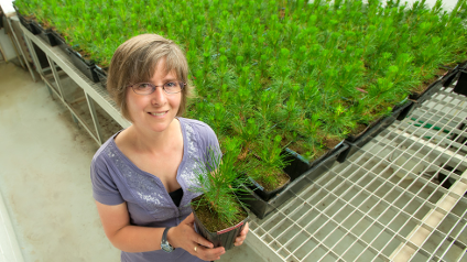 Next year, Janice Cooke will start testing lodgepole and jack pine seedlings in her lab to discover whether northern and southern pine trees react differently to the fungus carried by the pine beetle.