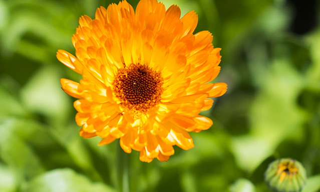 The sweet-tasting pot marigold is perfect for salads and is often used to colour cheese.