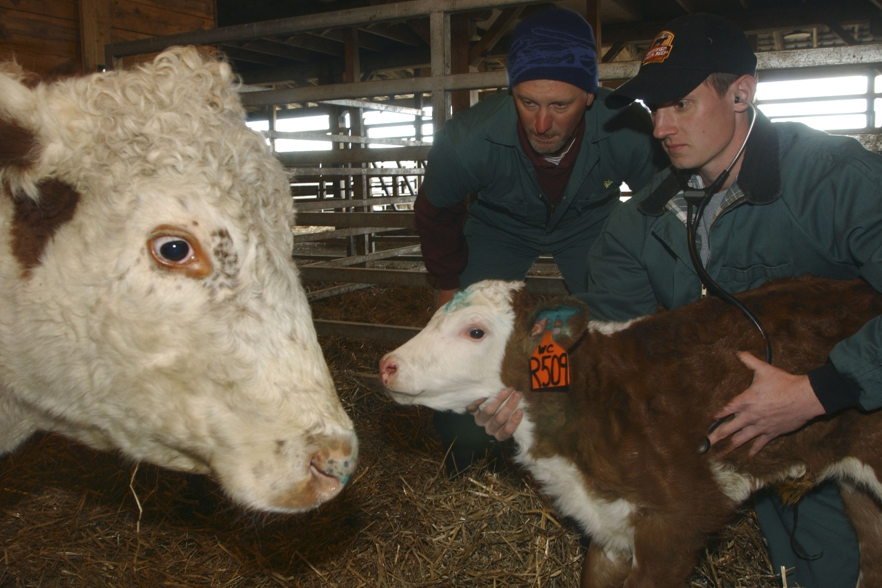 Vet_Students_Cattle_RVC_2006-08