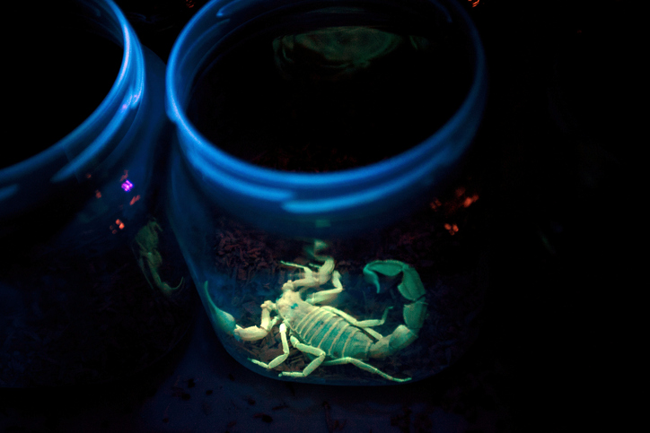 A Deathstalker scorpion sits in a jar illuminated by ultraviolet light in a laboratory. Photo by Getty.