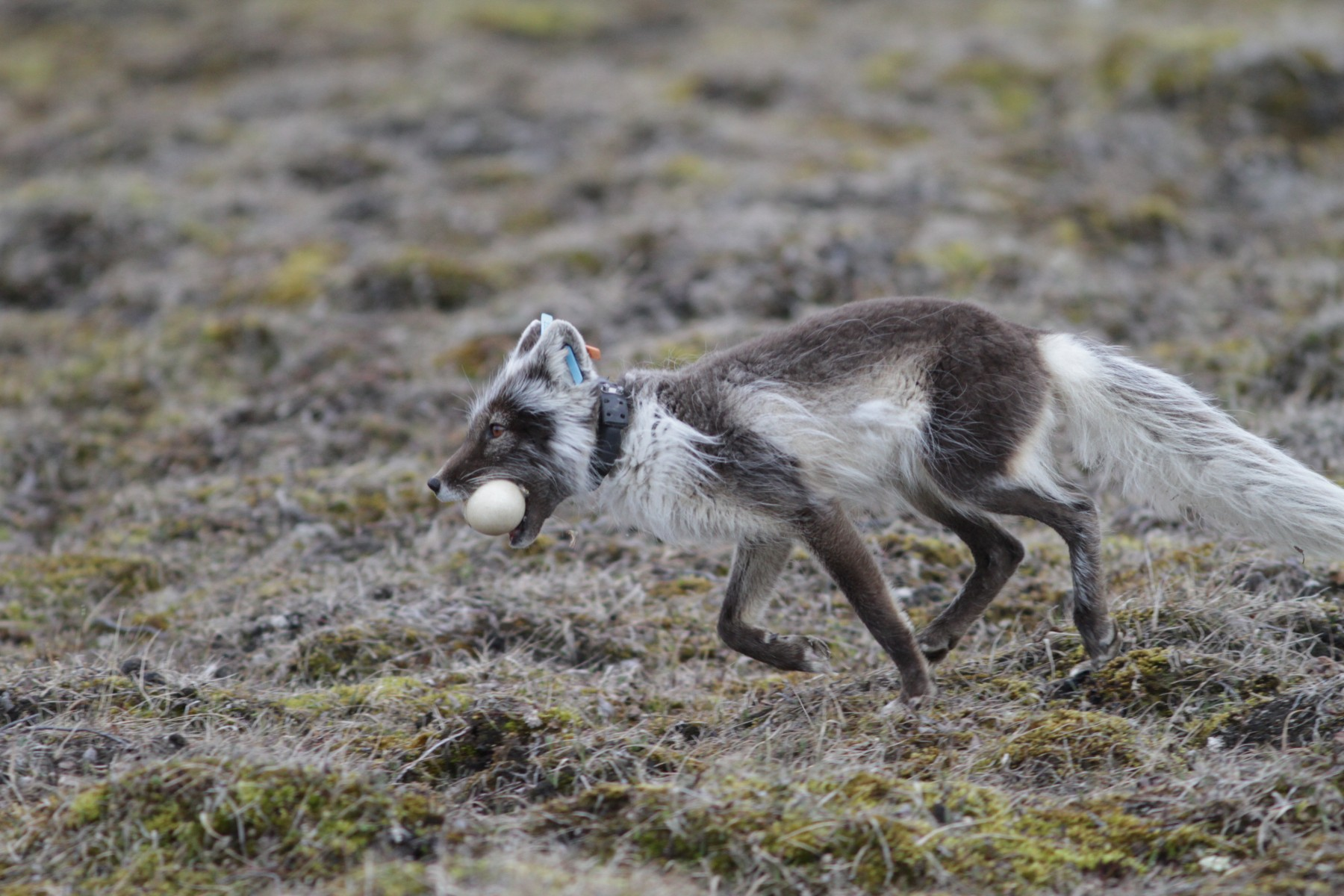 An arctic fox tracked with a satellite collar carries a goose egg on Bylot Island, Nunavut.