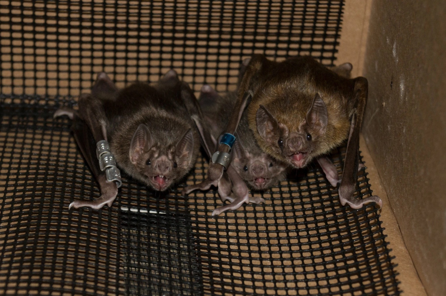 Adult and juvenile (center) vampire bats huddle together in captivity.